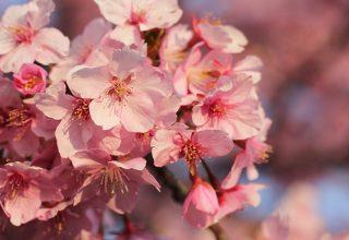 遠藤新田の美和桜が満開!静岡市できれいな河津桜が楽しめます!